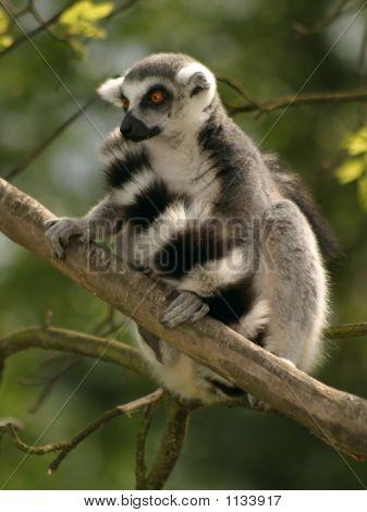 Monkey Ring-Tailed Lemur