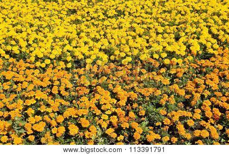 Orange And Yellow Marigolds