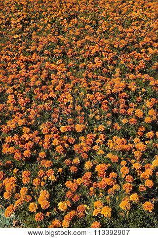 Flowerbed With Orange Marigolds