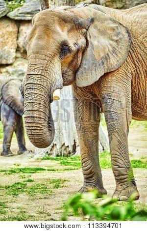 Large Indian Elephants Its Natural Habitat.