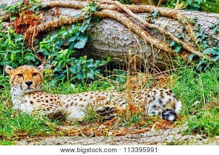 Cheetah (acinonyx Jubatus) Is A Big Cat In The Subfamily Felinae That Inhabits Most Of Africa And Pa