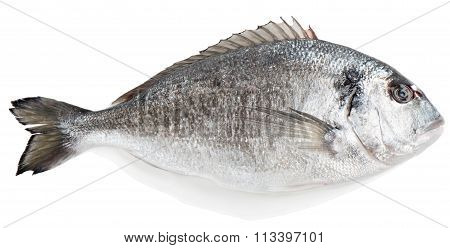 Gilt-head Bream (sparus Aurata L.)