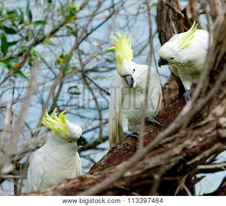 Sulphur-crested Cockatoo, Cacatua galleria,large white cockatoo popular in Australia and New Guinea,