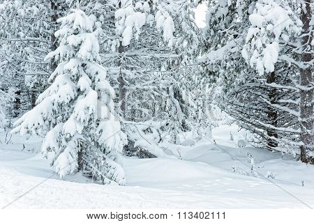Snow Covered Trees In Ruka In Finland On The Arctic Pole Circle