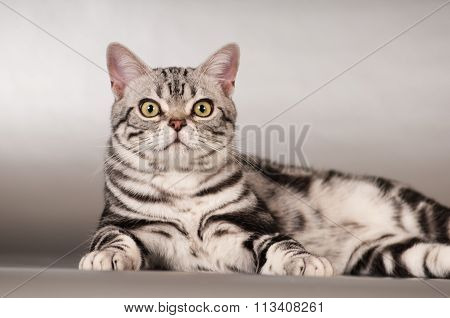 Purebred american shorthaired cat portrait