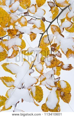 Snow covering yellow leafs on a tree