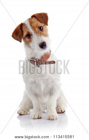Small Doggie Of Breed A Jack Russell Terrier