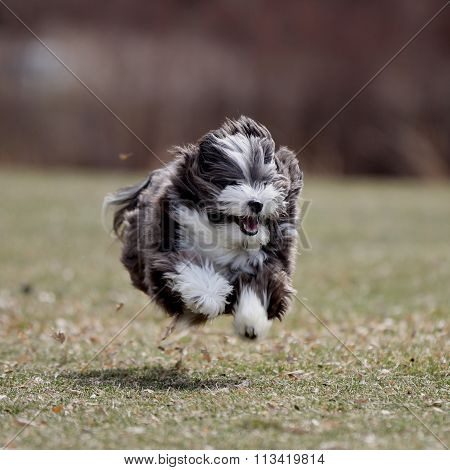 A small black and white dog running.