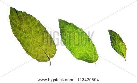 Three green mint leaves.