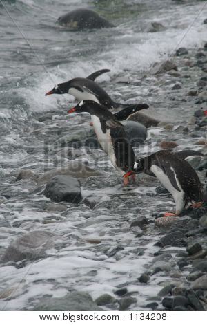 Gentoo Penguin, Diving