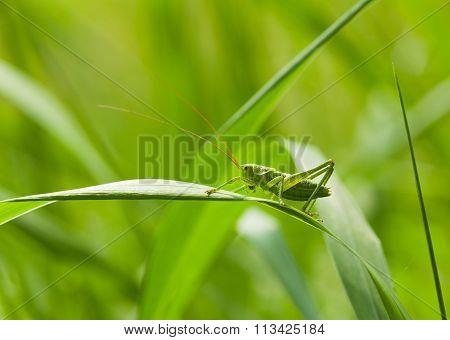 Green Grasshopper On Blade
