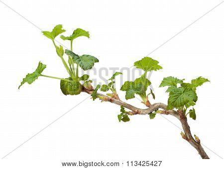 Fresh Leaves On Currant Bush