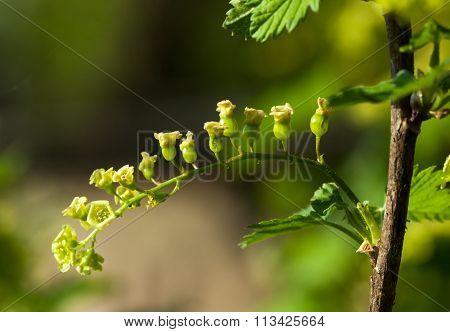Unripe Currant Cluster