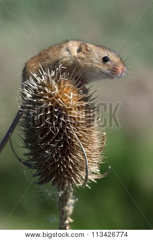 Harvest Mouse (Micromys Minutus)