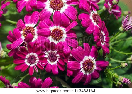 Red and white Cineraria flowers