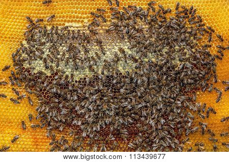 Close Up Of A Honey Bee Frame From A Hive With Collony Collapse Disorder Covered With A Few Bees