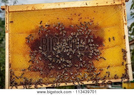 Honey Bee Frame From A Hive With Collony Collapse Disorder Covered With A Few Bees