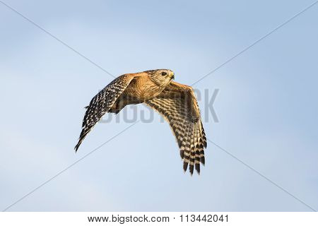 Red-shouldered Hawk In Flight - Florida