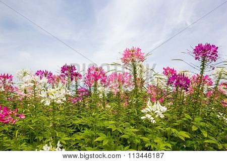 Cleome Flower (cleome Hassleriana) ,spider Flowers