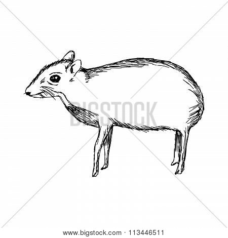 Illustration Vector Hand Drawn Doodle The Mouse Deer Or Chevrotain Isolated On White.