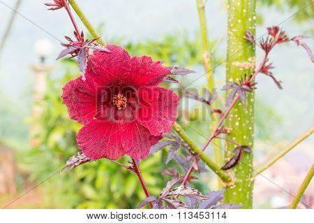 Hibiscus acetosella flower