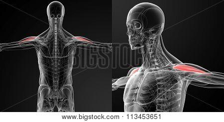 Medical Illustration Of The Anterior Deltoid