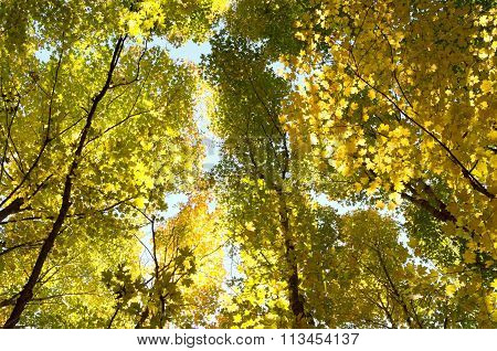 Autumn Canopy Aglow