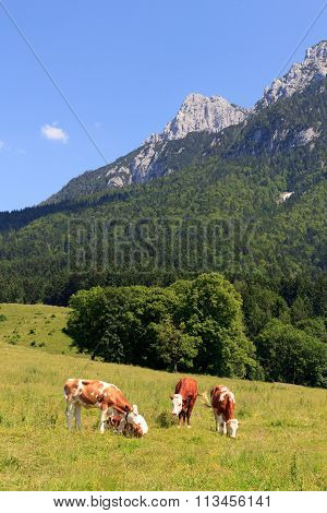 Cows in the Alps in front of the Zahmer Kaiser