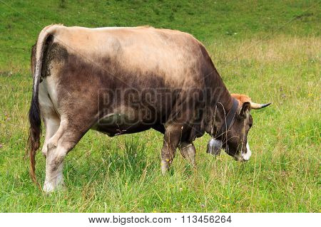 Brown Cow browsing in the Allgau on meadow