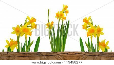 Pretty Bunch Of Daffodils