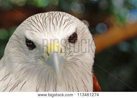 Brahminy Kite Red Backed Sea Eagle Haliastur Indus Headshot