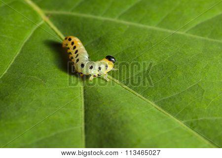 Macro Of Yellow Caterpillar