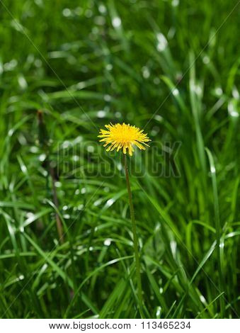 Blossom Dandelion In Green Field