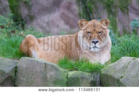 Lion Resting In The Green Grass