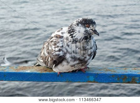 A Pigeon Looks At A Sea