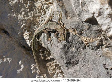 A Big Lizard