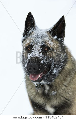 Shepherd With A Snow