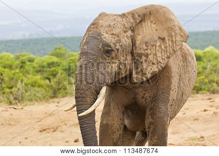 African Elephant With A Muddy Face