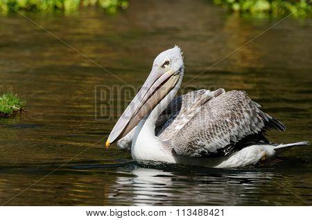 Wild Pelican, Africa