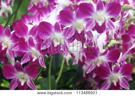 Dendrobium Sonia Orchid