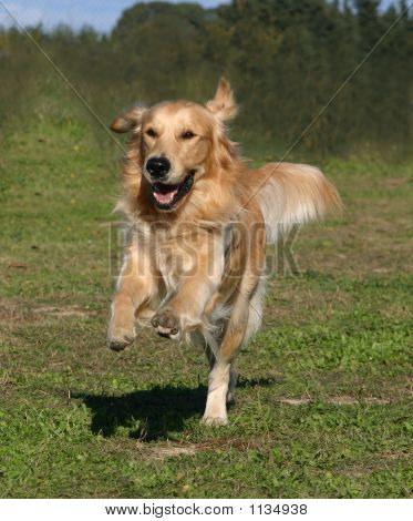 Running Golden