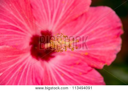Pink Hibiscuse Flower