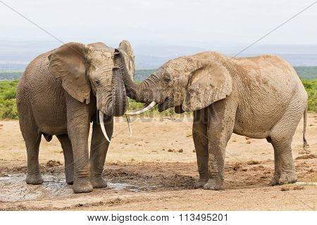 African Elephants Touching Each Other With Their Trunks