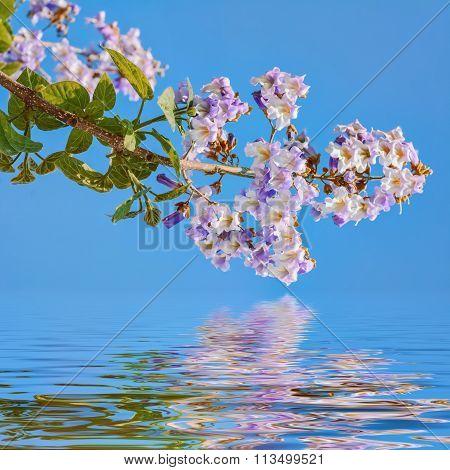 Paulownia Fortunei Flowers