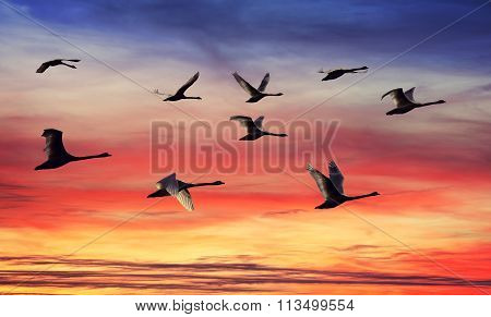 Skein Of Swans Silhouettes At Sunset.