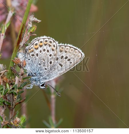 Silver-studded blue (Plebejus argus) butterfly with underside visible