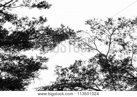 Tree Branch Silhouette Against Sky Background.