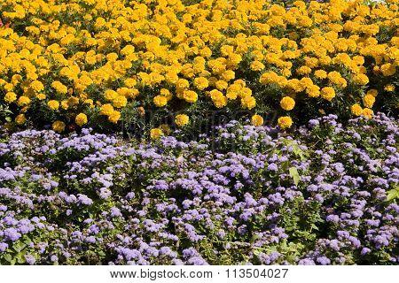 Marigolds And Ageratum
