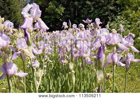 Blue Irises On Flowerbed