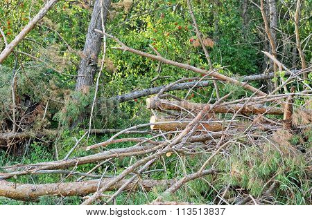 Pine Branches With Green Needles Felled In The Forest